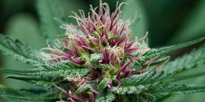 cannabis genotypes and phenotypes
