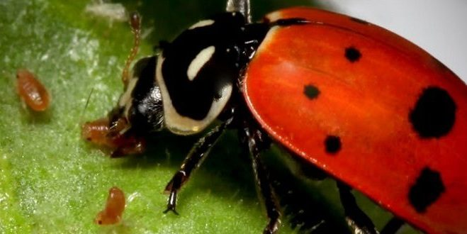 common pests on cannabis plants