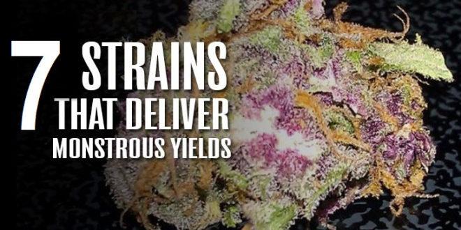 7 High-Yielding Cannabis Strains You Should Grow