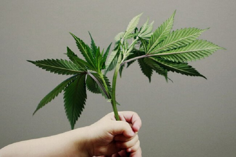 A Cannabis Plant Help by A Child - For the article Is CBD Safe for Children