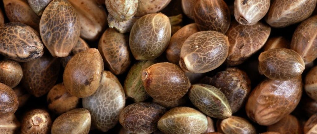 Cannabis seed picture for the article 7 Reasons Medicinal Cannabis Makes Sense
