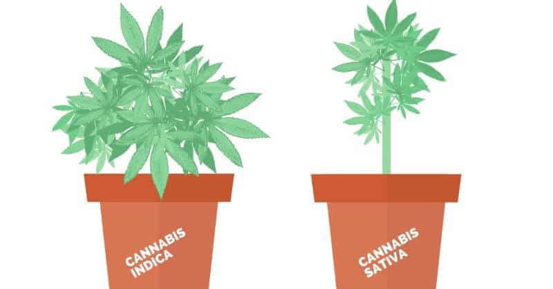 differences in growing indica and sativa plants