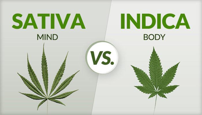 marijuana plant strains