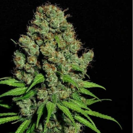 Mature, flowering, female cannabis plant otherwise known as stock photo