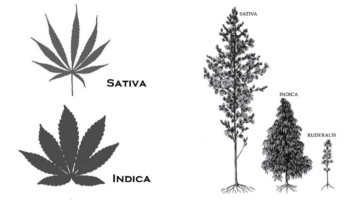 indica vs sativa plant sizes