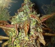 OG Kush Plant Yield