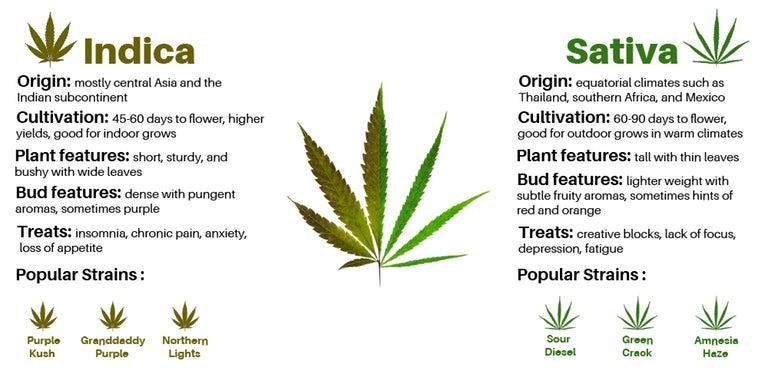 sativa plant features vs indica plant features