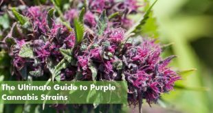 ultimate guide to purple weed