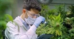 popularity of cannabis