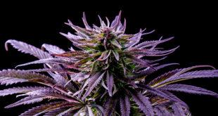 purple marijuana leaf